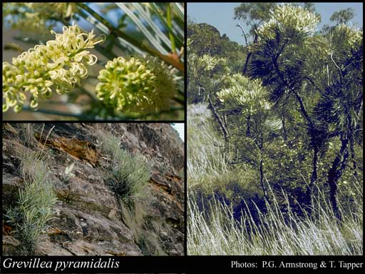Photo of Grevillea pyramidalis R.Br.