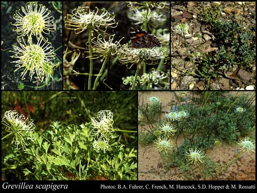 Photo of Grevillea scapigera A.S.George