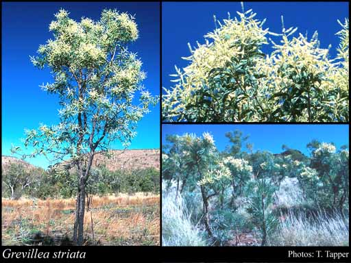 Photo of Grevillea striata R.Br.