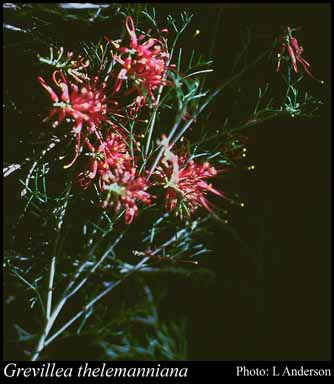 Photo of Grevillea thelemanniana Endl.