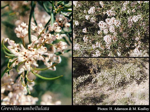 Photo of Grevillea umbellulata Meisn.