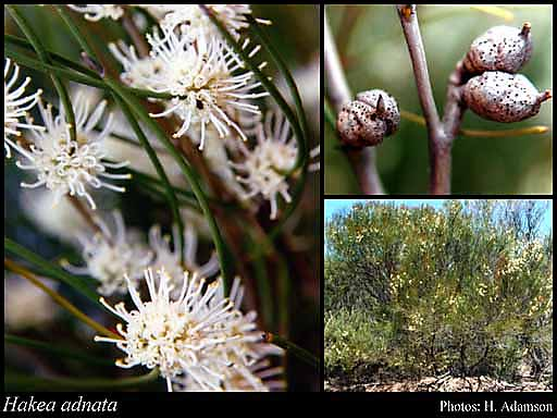 Photo of Hakea adnata R.Br.
