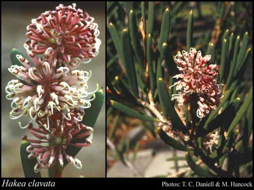 Photo of Hakea clavata Labill.