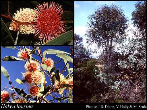 Photo of Hakea laurina R.Br.