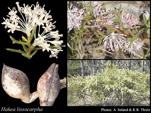 Photo of Hakea lissocarpha R.Br.