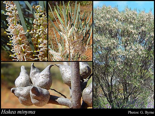 Photo of Hakea minyma Maconochie