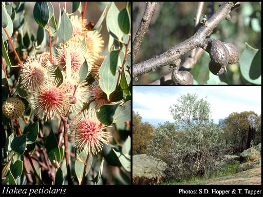 Photo of Hakea petiolaris Meisn.