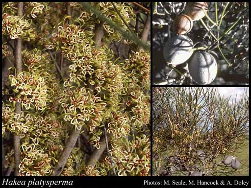 Photo of Hakea platysperma Hook.