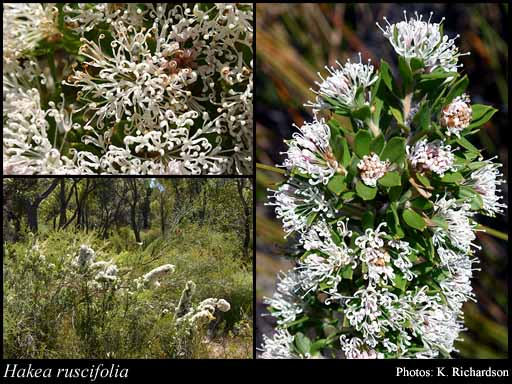 Photo of Hakea ruscifolia Labill.