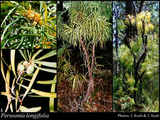 Photo of Persoonia longifolia R.Br.