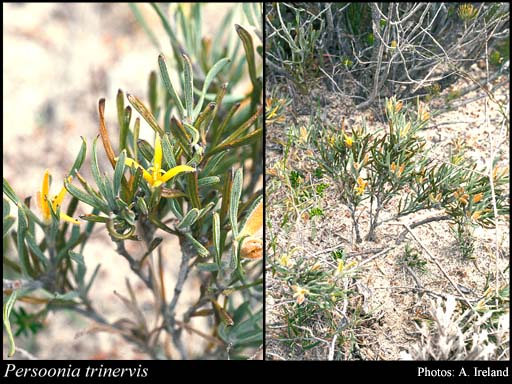 Photo of Persoonia trinervis Meisn.