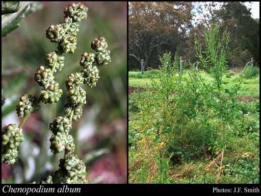 Photo of Chenopodium album L.