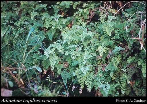 Photo of Adiantum capillus-veneris L.