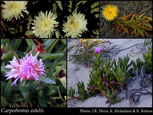 Photo of Carpobrotus edulis (L.) N.E.Br.