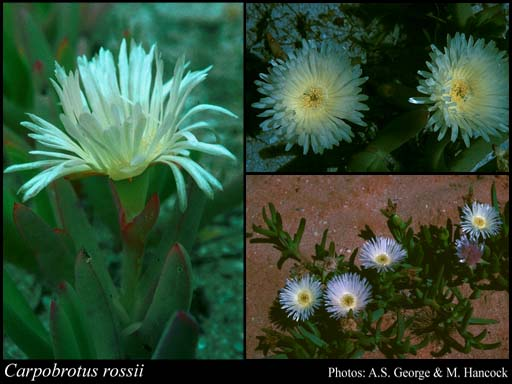 Photo of Carpobrotus rossii (Haw.) Schwantes