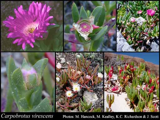 Photo of Carpobrotus virescens (Haw.) Schwantes