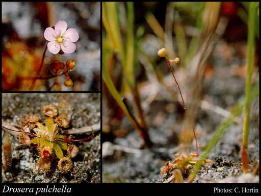 Photo of Drosera pulchella Lehm.