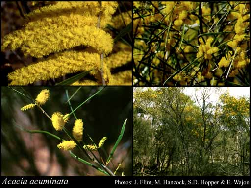 Photo of Acacia acuminata Benth.