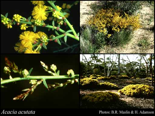 Photo of Acacia acutata W.Fitzg.