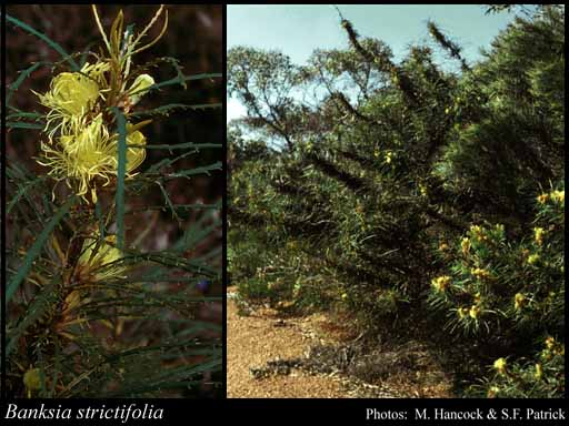 Photo of Banksia strictifolia A.R.Mast & K.R.Thiele