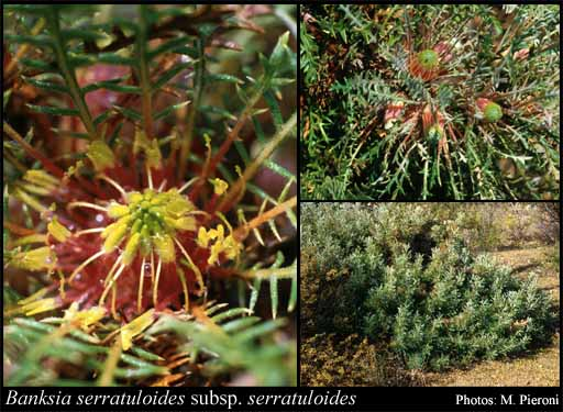 Photo of Banksia serratuloides (Meisn.) A.R.Mast & K.R.Thiele subsp. serratuloides