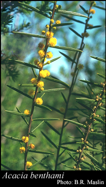 Photo of Acacia benthamii Meisn.