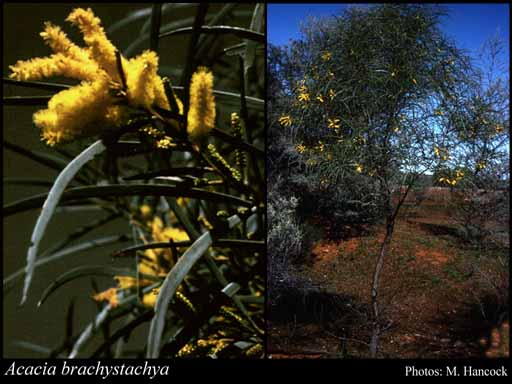 Photo of Acacia brachystachya Benth.