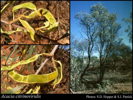 Photo of Acacia citrinoviridis Tindale & Maslin
