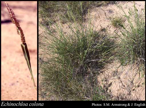 Photo of Echinochloa colona (L.) Link