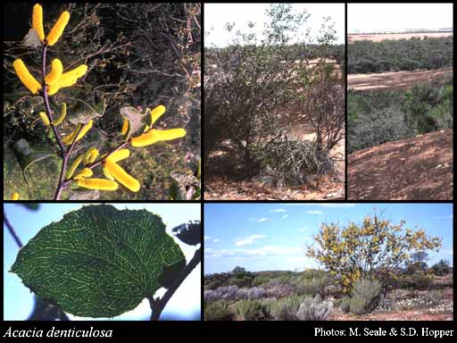 Photo of Acacia denticulosa F.Muell.
