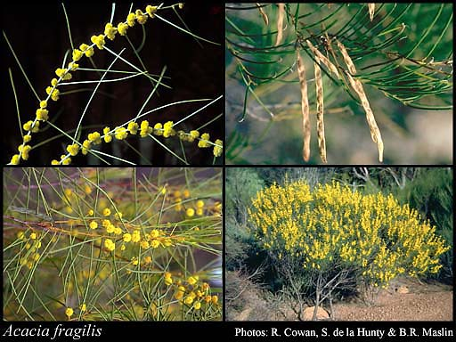 Photo of Acacia fragilis Maiden & Blakely