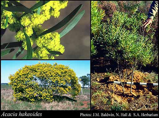 Photo of Acacia hakeoides Benth.