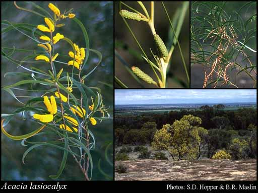 Photo of Acacia lasiocalyx C.R.P.Andrews