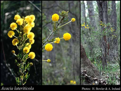 Photo of Acacia lateriticola Maslin