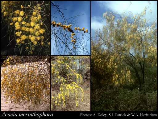 Photo of Acacia merinthophora E.Pritz.