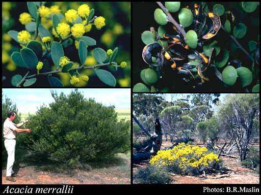 Photo of Acacia merrallii F.Muell.