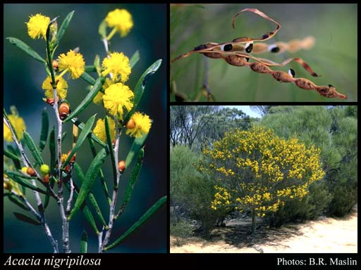 Photo of Acacia nigripilosa Maiden