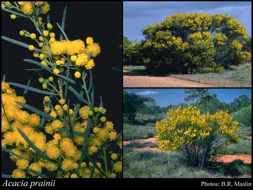 Photo of Acacia prainii Maiden