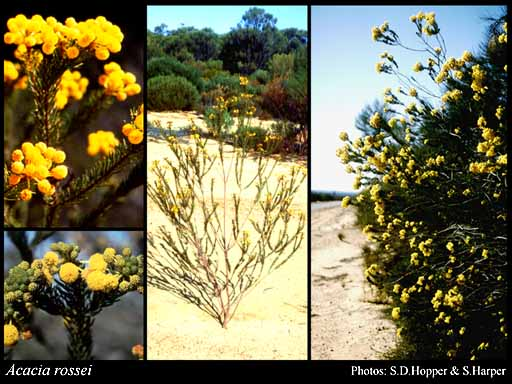 Photo of Acacia rossei F.Muell.