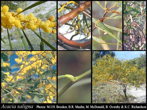 Photo of Acacia saligna (Labill.) H.L.Wendl.