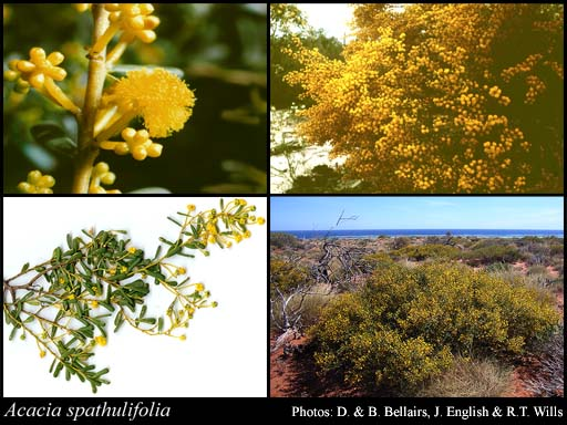Photo of Acacia spathulifolia Maslin