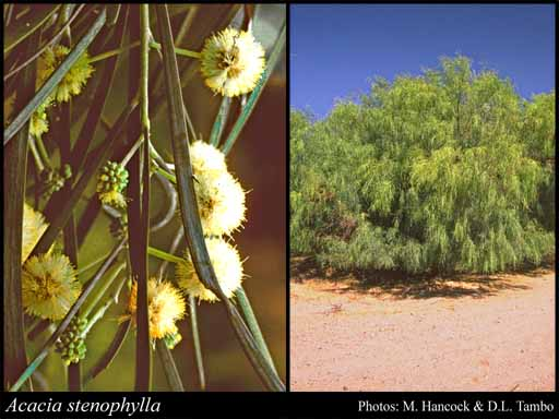 Photo of Acacia stenophylla Benth.