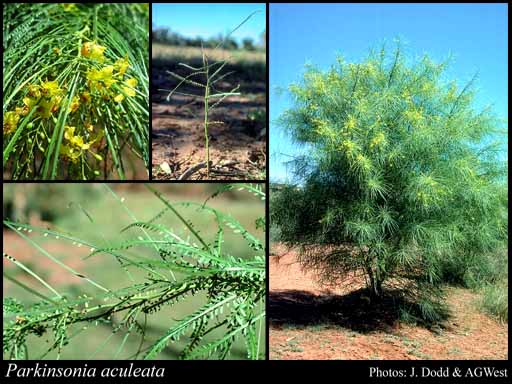 Photo of Parkinsonia aculeata L.