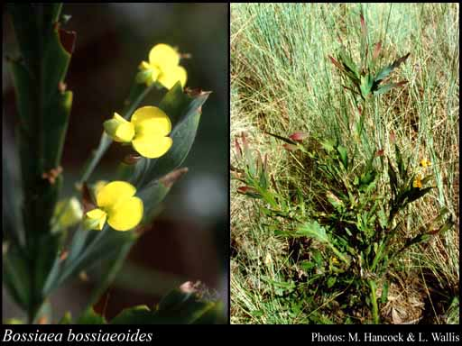 Photo of Bossiaea bossiaeoides (Benth.) Court