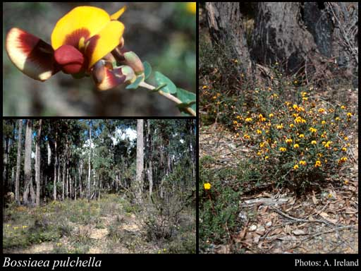 Photo of Bossiaea pulchella Meisn.