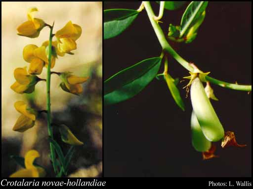 Photo of Crotalaria novae-hollandiae DC.