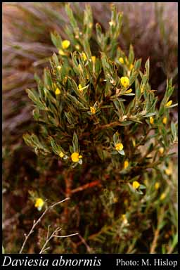 Photo of Daviesia abnormis F.Muell.