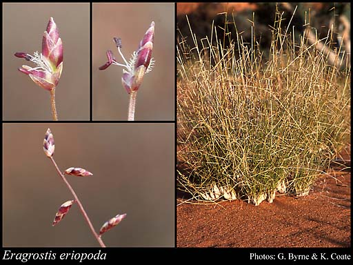 Photo of Eragrostis eriopoda Benth.