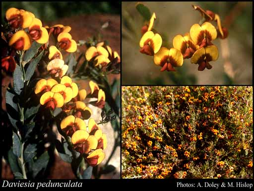Photo of Daviesia pedunculata Benth.