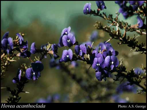Photo of Hovea acanthoclada (Turcz.) F.Muell.